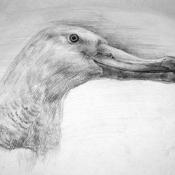 Albatross. Pencil
